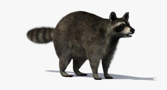 3D-Raccoon1