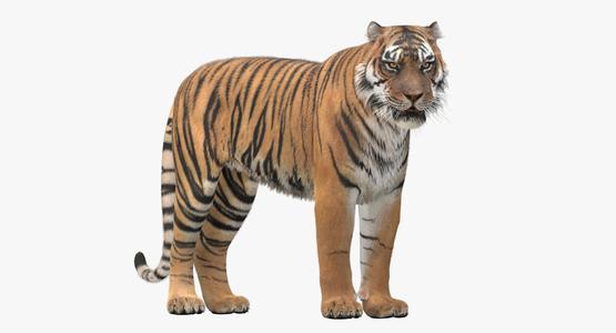 3D-Tiger-Rigger-with-Ornatrix-Fur-model1