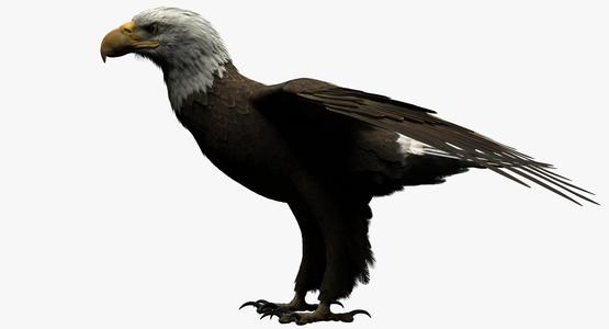 3D-model-American-Bald-Eagle1