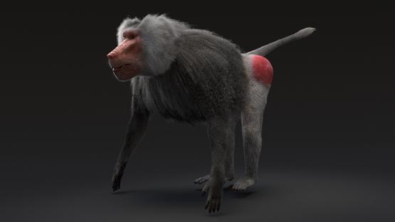 Baboon1-3D-model1