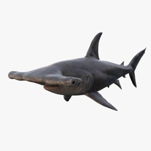 Hammerhead-Shark1